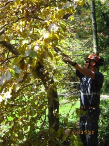 tree pruning toronto, tree pruning north york, tree pruning aurora, tree pruning stouffville, tree pruning markham