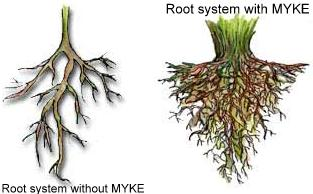 Mycorrhizae benefits for roots