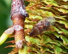 birch catkin bug