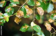 birch leaf miner damage to leaves