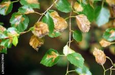 birch leaf miner on leaves