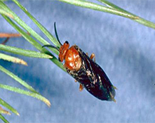 european and redheaded pine sawfly