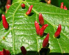 red galls on leaves