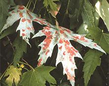 galls on leaves