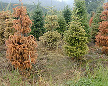 PHYTOPHTHORA ROOT AND CROWN ROT