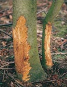 damage to tree bark without skoot rodent repellent