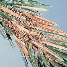 spruce needleminers