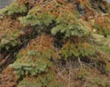 Spruce Spidermite