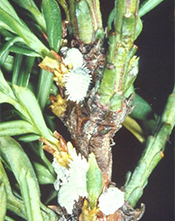 taxus mealy bug