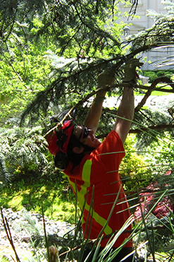 tree pruning aurora