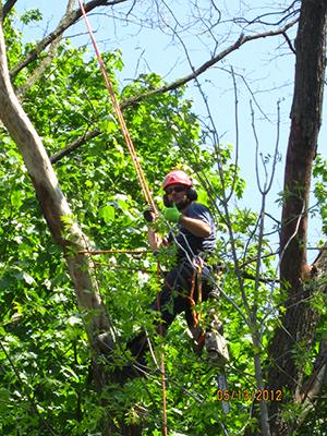 tree removal toronto by Four Seasons Tree Care
