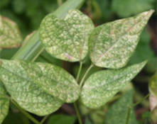 wo spotted spider mite