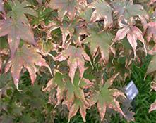 water stress/leaf scorch