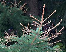 yellow headed spruce sawfly